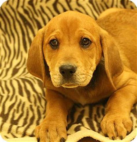 redbone coonhound golden retriever mix breeds list haired breeds mix breeds companion breeds picture