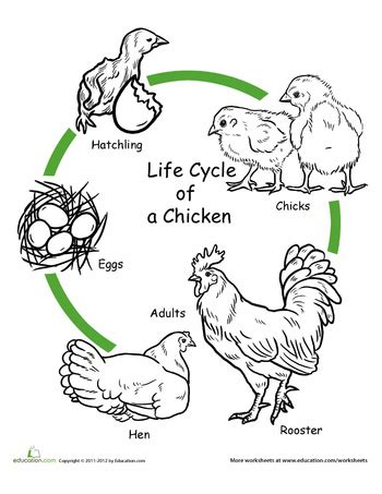 cycle of a cat diagram chicken cycle worksheet worksheets cycling and