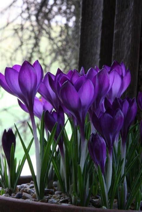 pflanzen zu hause die lila blumen sind symbol der weiblichkeit