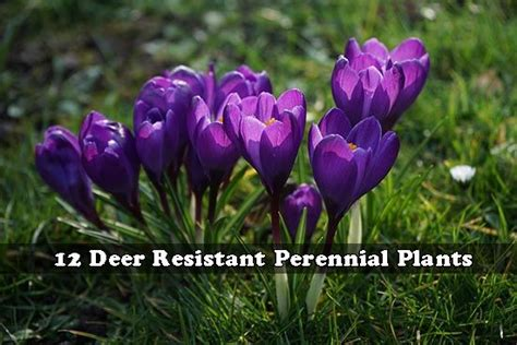deer resistant plants the gardeners coach 1000 images about garden on pinterest gardens raised