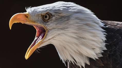 wallpaper eagle head beak black background  hd