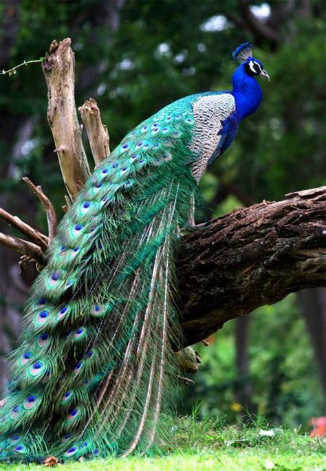 beautiful peacock resting   log pictures