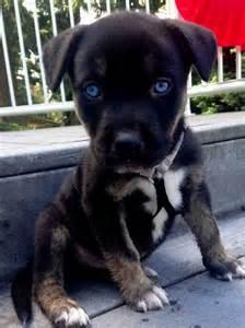 Mix puppies husky pitbull puppies husky pitbull puppies for sale