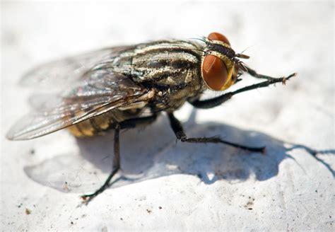 sognare mosche in casa come far scappare le mosche