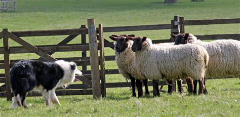 sheep herding dogs shabden park farm s open day june 9 inside croydon
