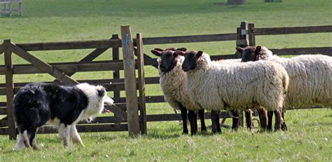 how to a to herd sheep shabden park farm s open day june 9 inside croydon