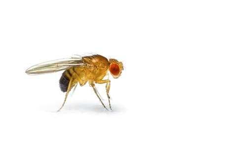 images of fruit flies how to and treat fruit flies pest