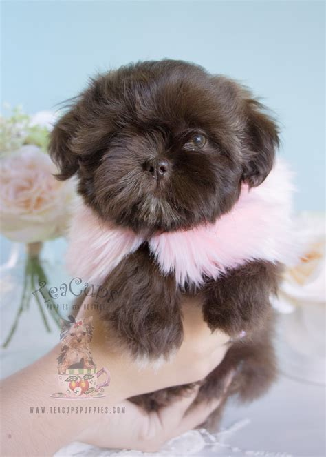 chocolate shih tzu for sale chocolate shih tzu puppies davie teacups puppies boutique
