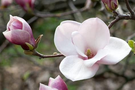 magnolia fiore significato tumori della testa e collo un aiuto dalla magnolia