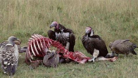 do vultures have a sense of smell animals mom me