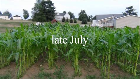 how to grow corn in your backyard homestead corn growing shelling grinding and freezing