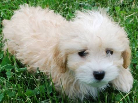 Maltipoo Shed by Maltipoo Grown Micheles Maltipoos N More Breeds