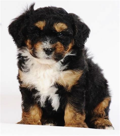 Non Shedding Hybrid Dogs by Bernese And Poodle Mix Search Favorite Dogs