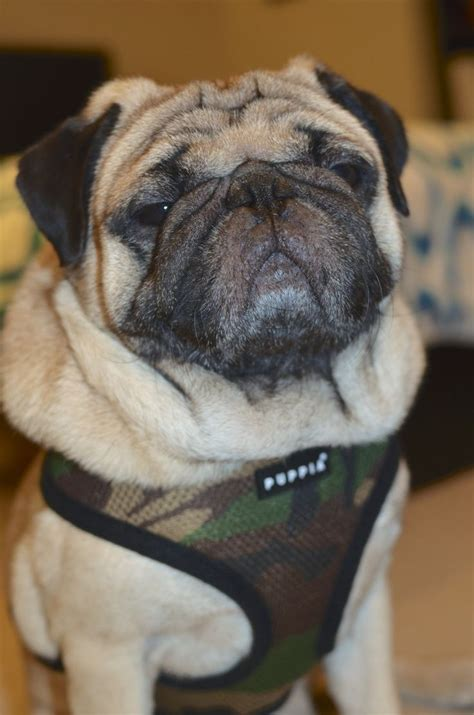 collars for pugs harness for pugs only leads for pugs elsavadorla