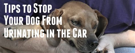 how to stop your dog from peeing in the house how do you stop a dog from peeing while in the car