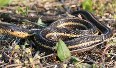 Garter Snake Facts Butler S Garter Snake Facts And Pictures Reptile Fact