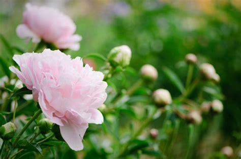 significato dei fiori peonia significato dei fiori la peonia pollicegreen