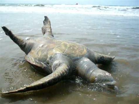 imagenes de tortugas blancas tortuga gigante muerta encontrada en punta blanca jla ecua
