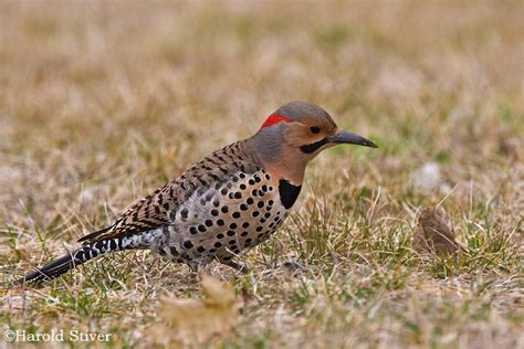 best 28 northern flicker food one bird a day day 67