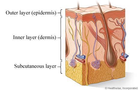 easy how the inside can heal your and your books cross section of the skin