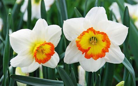 narciso fiore fiori narciso fiori di piante caratteristiche