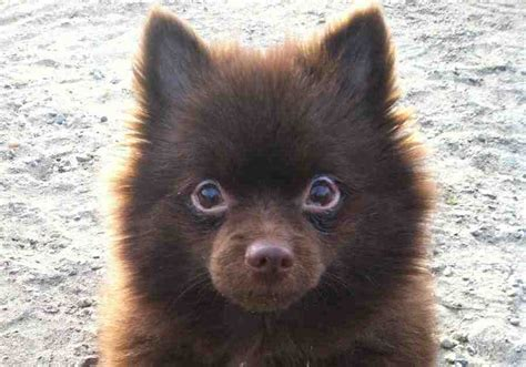 chocolate and pomeranian pomeranian probably the cutest breed k9 research lab