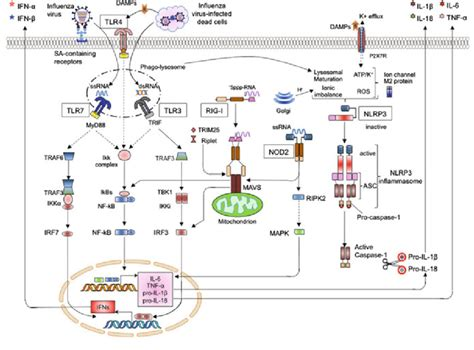 activation of host pattern recognition receptors by viruses recognition of influenza virus infection by pattern