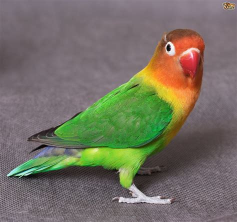 love bird rescue common lovebird illnesses pets4homes