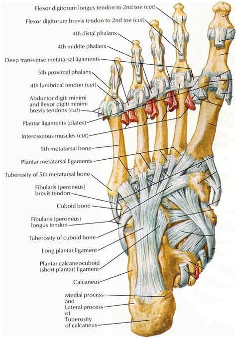 ligaments diagram tendons ligaments kinesiology best