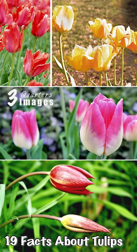 top 28 facts about tulips fun facts about tulips the rambling rose 5 interesting
