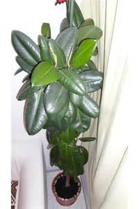 gummibaum im garten gummibaum ficus elastica robusta zimmerpflanze pflanzen