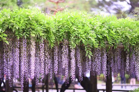 wisteria trellis yun free stock photos no 7828 the wisteria trellis of