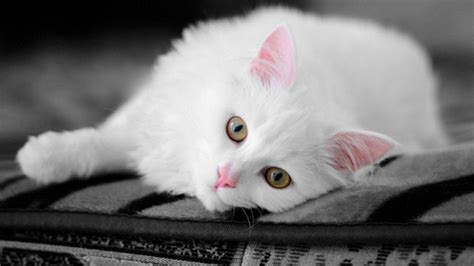 wallpaper cat white white cats wallpapers wallpaper cave