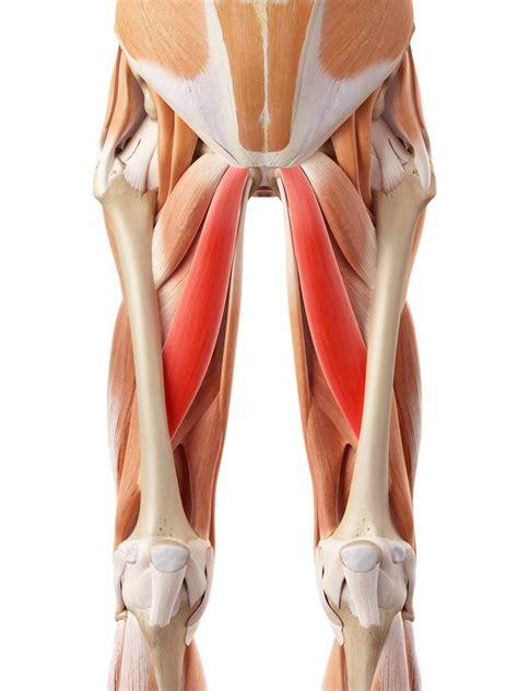 Définition | Long adducteur - Muscle long adducteur ...