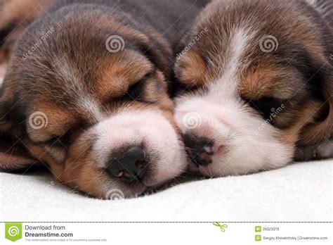 free beagle puppies beagle puppies royalty free stock image image 26023316