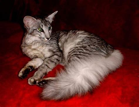 Rare cats, Oriental and Cats on Pinterest