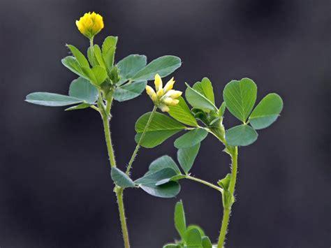 trebol amarillo trifolium dubium flores naturegate