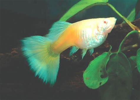 Makanan Ikan Gobi Hias ikan hias foto ikan guppy betina