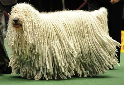 mop dogs tywkiwdbi quot wiki widbee quot a komondor