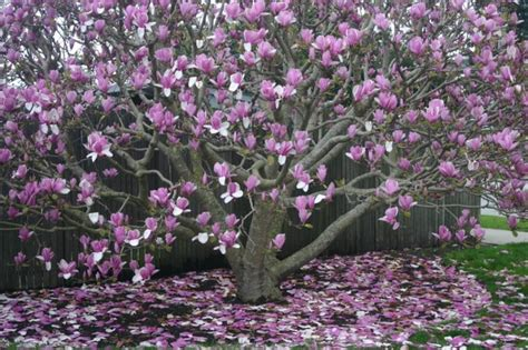japanese magnolia tree trees and flowers picture pictures