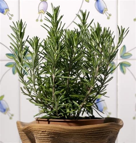 piante per cucina rosmarino pianta aromatica in vaso per cucina prezzo e