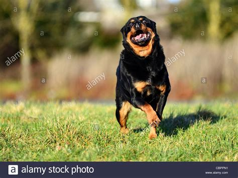 rottweiler puppies scotland rottweiler running towards on a day stock photo royalty free image
