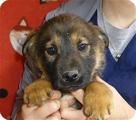 german shepherd and golden retriever puppies tennessee adopted puppy oviedo fl golden retriever german shepherd mix
