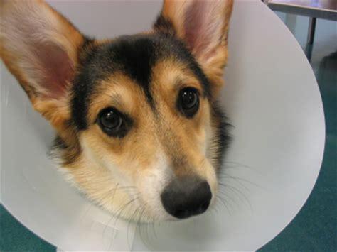 how to make dog cone more comfortable hudtum 246 r hos unga hundar l 228 sv 228 rd artikel om hund och