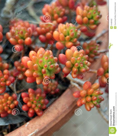 pork and beans succulent potted plant stock photography image 31460422
