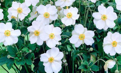perennial plant   year anemone honorine jobert