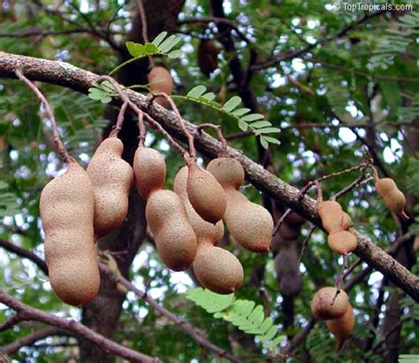 falling on tamarind trees a travelogue of books tamarindus indica tamarind toptropicals