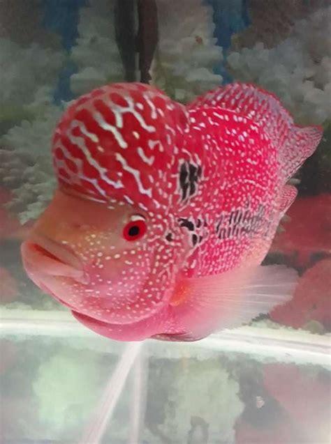 Pakan Khusus Ikan Louhan cara membuat warna ikan louhan cerah dan lebih merah