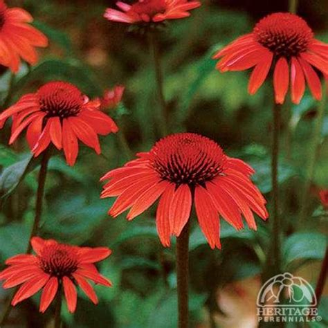 plant profile for echinacea sundown big sky coneflower