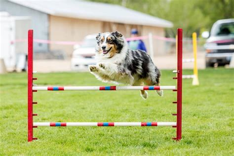 how to your to do agility diy agility equipment free diy do it your self